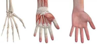A mão é uma estrutura complexa, formada por ossos, cartilagem, ligamentos, músculos, tendões e muitos nervos.